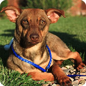 Miniature Pinscher Mix Dog for adoption in Stockton, California - Betty