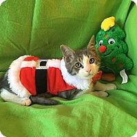 Domestic Shorthair Kitten for adoption in Tampa, Florida - Matthew