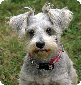 Standard Schnauzer Dog for adoption in Dallas, Texas - Misty Morning