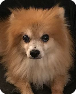 Pomeranian Dog for adoption in Orlando, Florida - Teddy