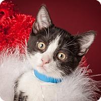 Adopt A Pet :: Tinsel - Dallas, TX