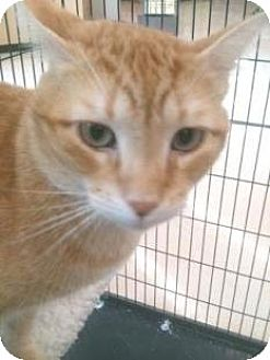 Domestic Shorthair Cat for adoption in Miami, Florida - Ranger