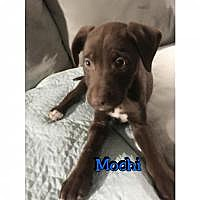 Adopt A Pet :: Mochi - Marlton, NJ