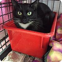 Domestic Shorthair Kitten for adoption in Huntington, New York - MITTENS