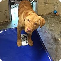 Adopt A Pet :: Diva - Brattleboro, VT