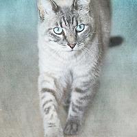 Siamese Cat for adoption in Belton, Missouri - Saeed