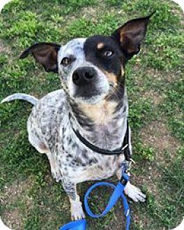 Australian Cattle Dog/Terrier (Unknown Type, Medium) Mix Dog for adoption in Orange, California - Fin