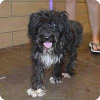 Adopt A Pet :: A025049 - Norman, OK