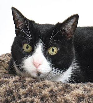 Domestic Shorthair Cat for adoption in Roseville, California - Minka
