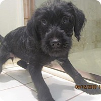 Terrier (Unknown Type, Medium)/Toy Poodle Mix Puppy for adoption in La Mesa, California - MOLLY, DOLLY POLLY