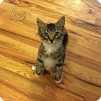 Adopt A Pet :: Josh (Musician Kittens) - Media, PA