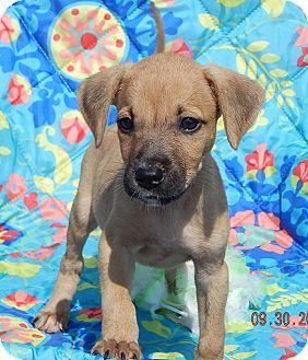 Boxer/Retriever (Unknown Type) Mix Puppy for adoption in West Sand Lake, New York - Takota (6 lb) Video!