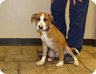 Australian Shepherd/Labrador Retriever Mix Puppy for adoption in Oviedo, Florida - Kelly