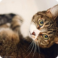 American Shorthair Cat for adoption in Hermosa Beach, California - CHARLOTTE (bonded with TOM)
