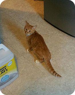 Domestic Shorthair Kitten for adoption in Minneapolis, Minnesota - Otter