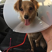 Adopt A Pet :: Sam - Las Vegas, NV