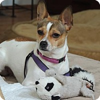 Jack Russell Terrier Dog for adoption in Franklin, Tennessee - BAILEY FOSTER NEEDED