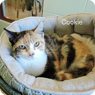 Domestic Shorthair Kitten for adoption in Slidell, Louisiana - Cookie