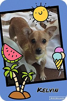 Chihuahua/Terrier (Unknown Type, Small) Mix Dog for adoption in Scottsdale, Arizona - Kelvin