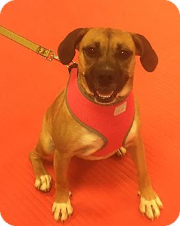 Beagle/Pug Mix Dog for adoption in Thomasville, North Carolina - Sayla