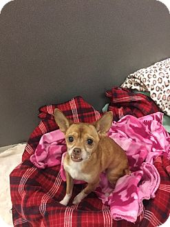 Chihuahua Mix Dog for adoption in Gardnerville, Nevada - Abigail