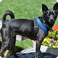 Miniature Pinscher/Chihuahua Mix Dog for adoption in Linden, New Jersey - ASTRO