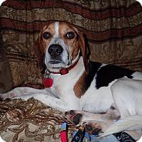 Adopt A Pet :: Scout - North Wilkesboro, NC