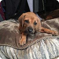 Adopt A Pet :: Cinnamon - Charelston, SC
