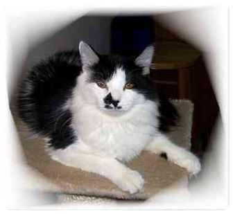 Domestic Mediumhair Cat for adoption in Montgomery, Illinois - Ariel/Ellie