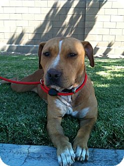 American Pit Bull Terrier Mix Dog for adoption in Fresno, California - Honey