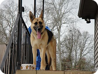 German Shepherd Dog Mix Dog for adoption in Greeneville, Tennessee - Leia