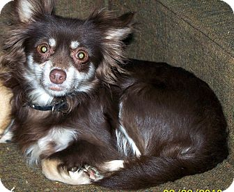 Chihuahua/Pomeranian Mix Dog for adoption in Sherman, Connecticut - Carmello Betty's Dog