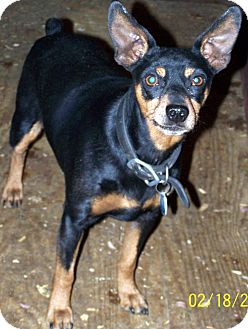 Miniature Pinscher Dog for adoption in Sherman, Connecticut - Gonzo Betty's Dog