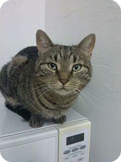 American Shorthair Cat for adoption in Huntington Station, New York - MARLEY