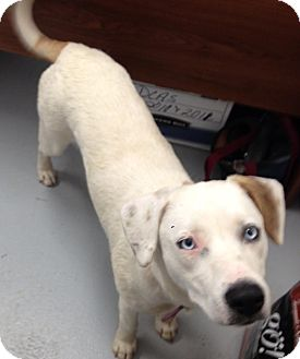 Labrador Retriever/Terrier (Unknown Type, Medium) Mix Dog for adoption in Clinton, Maine - Delilah