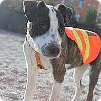 Adopt A Pet :: Maple - Woodbridge, CT