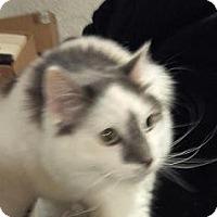 Adopt A Pet :: ARTIE - SWEET FLUFFER (25.00) - Rochester, NY