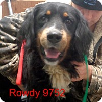 Adopt A Pet :: Rowdy - baltimore, MD