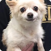 Adopt A Pet :: Martina - Orlando, FL