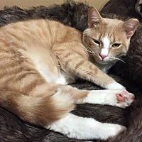 Domestic Shorthair Cat for adoption in Burlington, North Carolina - JAKE