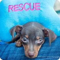 Adopt A Pet :: Min-Pin Puppies - San Marcos, CA