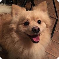 Adopt A Pet :: Blizzard - Long Beach, NY