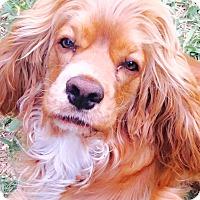 Adopt A Pet :: Cosmo - Miami, FL