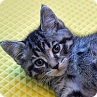 Domestic Shorthair Kitten for adoption in Greenfield, Indiana - Viper