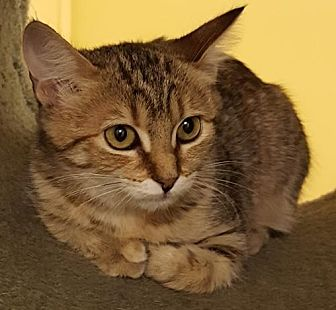 Domestic Shorthair Kitten for adoption in Auburn, California - Zena