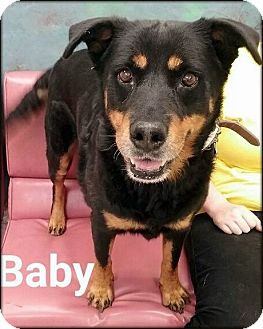 Rottweiler Mix Dog for adoption in Ottumwa, Iowa - Baby