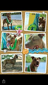 American Pit Bull Terrier Mix Dog for adoption in Mount Royal, New Jersey - Yogi