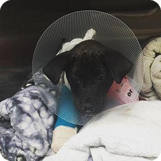 Labrador Retriever Mix Dog for adoption in Miami, Florida - Nina