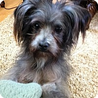 Shih Tzu Mix Dog for adoption in Alpharetta, Georgia - Karolina