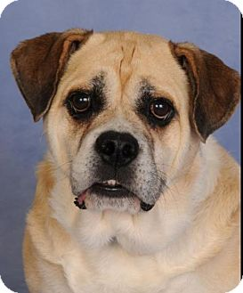 English Bulldog/Beagle Mix Dog for adoption in mishawaka, Indiana - Romany